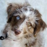 Brown Aussiedoodle Images