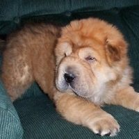 Chow Chow Chinese Shar Pei Mix