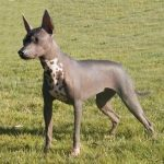Coated Xoloitzcuintli
