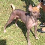 Dog Bred Xoloitzcuintli