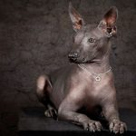 Mexican Dog Xoloitzcuintli