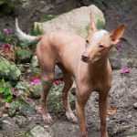 Mexican Hairless Dog Images