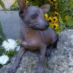 Mexican Hairless Dog Puppy