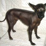 Mexican Hairless Dog Puppy Photos