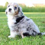 Mini Aussiedoodle Full Grown