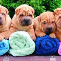 Shar Pei Chow Chow Puppies