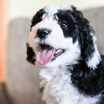 Sheepadoodle Dog Pictures