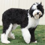 Sheepadoodle Full Grown