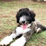Sheepadoodle Pictures