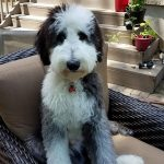 Sheepadoodle Puppy Photos