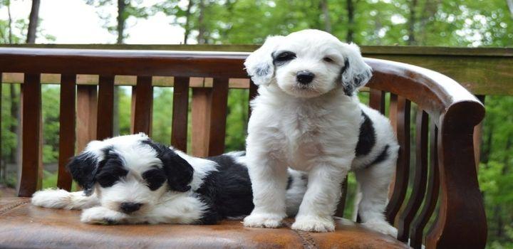 Sheepadoodle Dogs