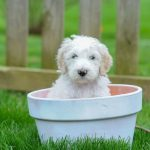 Sheepdog-Poodle mix