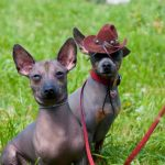 Xoloitzcuintli Dogs Pictures