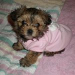 Yorkiepoo Dog Photos