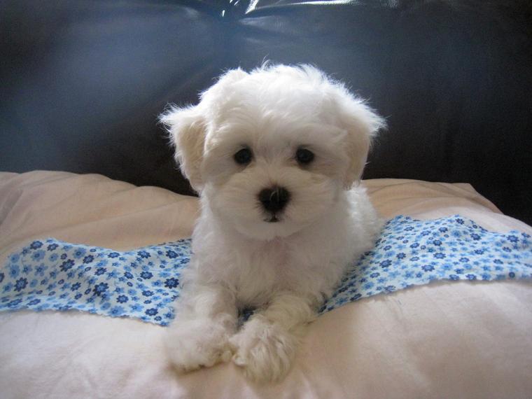 Yorkiepoo Yorkshire Terrier Poodle Mix Info Temperament Puppies