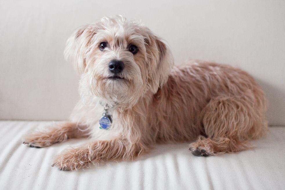 Yorkiepoo Yorkshire Terrier Poodle Mix