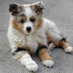 Aussie Pom Dog Images