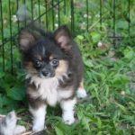 Aussiepom Puppies