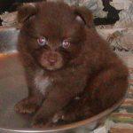 Aussiepom Puppy Pictures