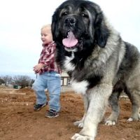 Caucasian Mountain Dog Images