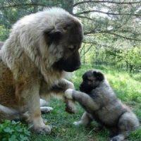 Caucasian Ovcharka Dogs