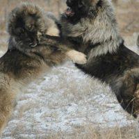 Caucasian Ovcharka Fighting Bear