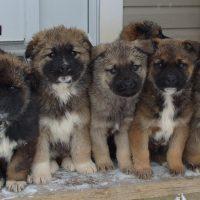 Caucasian Ovcharka Puppies