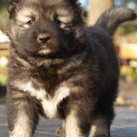 Caucasian Ovcharka Puppy