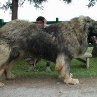 Caucasian Ovcharka Size Full