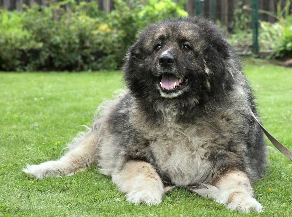Caucasian Ovcharka Caucasian Shepherd Dog Info Puppies