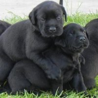 Lab Mastiff Mix Puppies