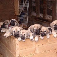 Mastador Puppies