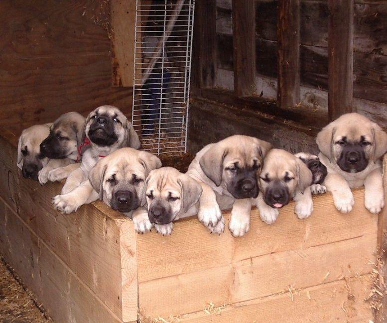 Mastador Mastiff Lab Mix Dog Information Puppies Pictures