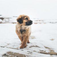 Mastador Puppy