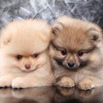 Pomeranian-Australian Shepherd Mix