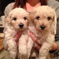 Puppies of Westiepoo