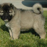 Puppy of Caucasian Ovcharka
