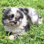 Toy Aussie Pom Pup