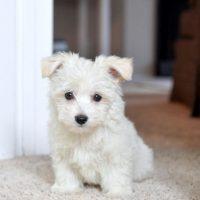 Westie Poodle