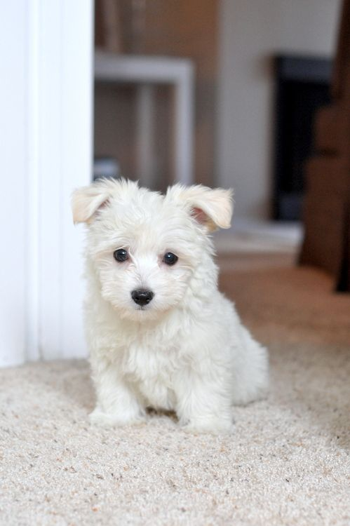 The West Highland White Terrier Westie Puppies For Sale In Tennessee USA