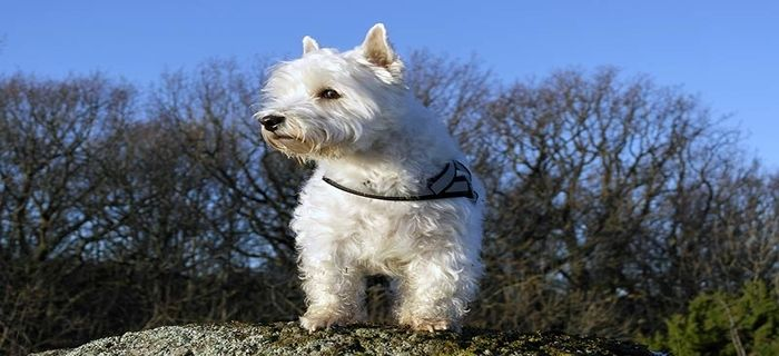 Westiepoo Dog Breed