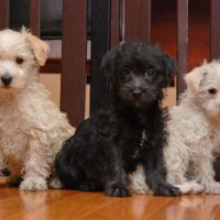 Westiepoo Puppies Images