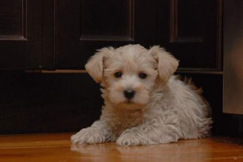 Westiepoo (The West Highland White Terrier Poodle Mix) For Sale Alabama USA