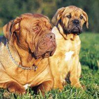 Adult Dogue De Bordeaux
