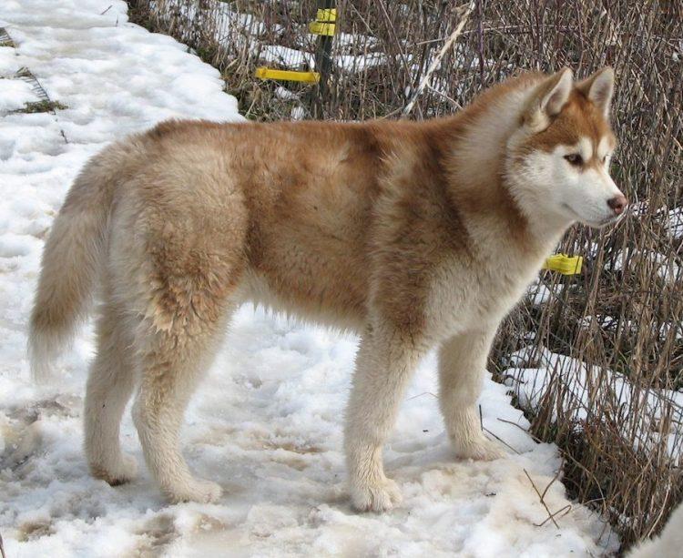 Alusky Dog Size