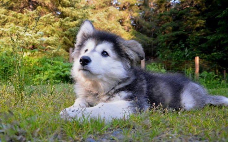 Alusky Dog