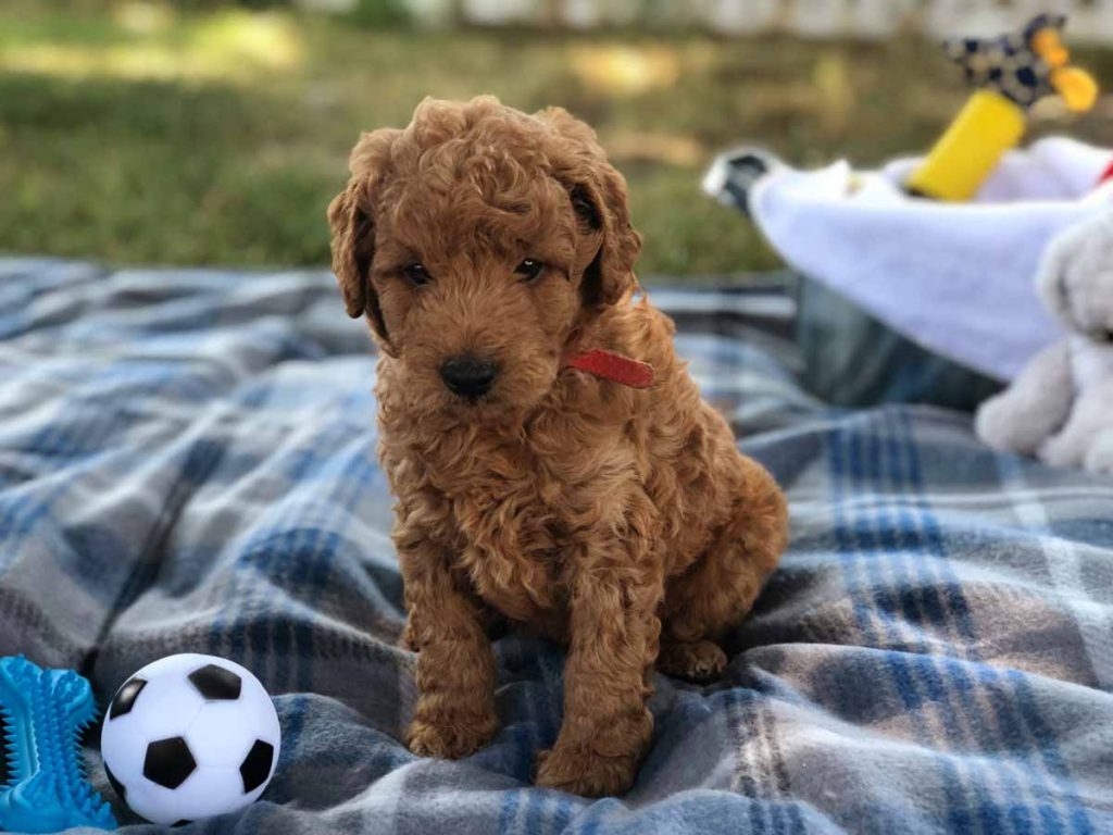 Apricot Toy Goldendoodle Puppy