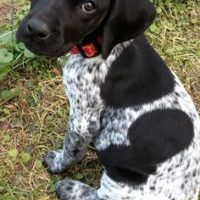 Baegle Pointer Mix Puppies