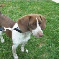 Beagle Pointer Mix
