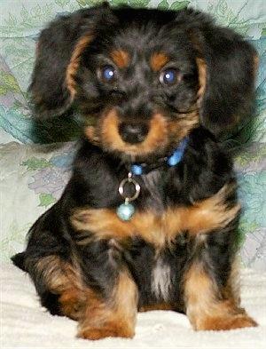 Dorkie Dachshund Yorkie Mix Dog Breed Information Puppies Pictures